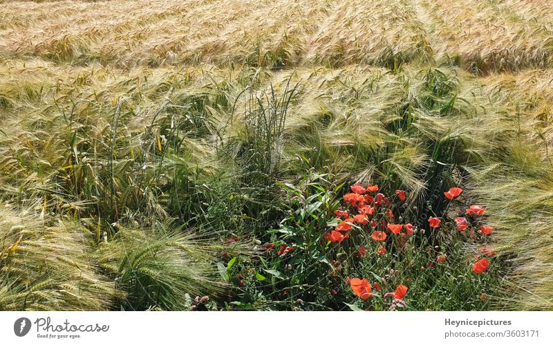 Cornfield with poppy flowers agriculture farming outdoor nature summer bright plant floral season natural blossom bloom petal landscape environment cornfield