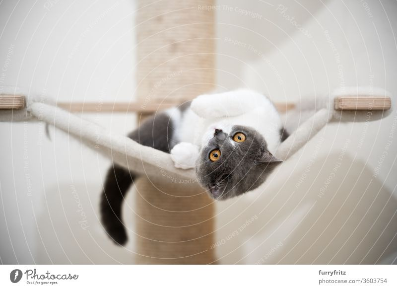 young playful british shorthair cat, lying on a hammock with a scratching post Cat pets purebred cat British shorthair cat cat tree Sisal Fluffy Pelt feline