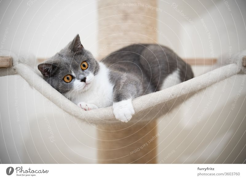 young british shorthair cat relaxes on the hammock of a scratching post Cat pets purebred cat British shorthair cat cat tree Sisal Fluffy Pelt feline White