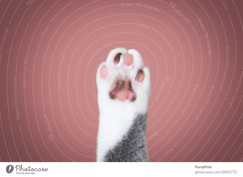cat's paw Cat pets purebred cat British shorthair cat Fluffy Pelt feline White One animal indoors Blue Gray Paw Close-up Copy Space Detail Pink