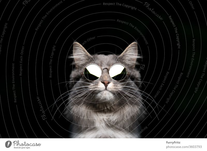 cool maine coon cat with round sunglasses Cat pets purebred cat Studio shot black background Copy Space cut already Cute Enchanting One animal Fluffy Pelt