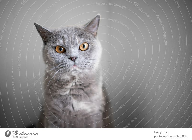 portrait of a beautiful british shorthair cat looking at camera with copy space pets purebred cat fluffy fur feline one animal indoors tortoiseshell cat blue