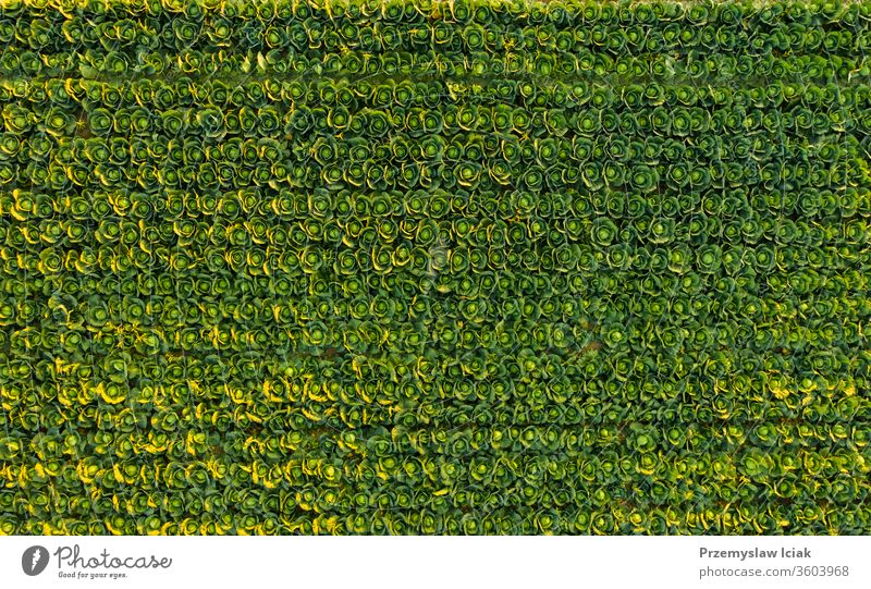 Sunset over a field of cabbage aerial view from above sunset green nature agriculture farm plant landscape food organic growth background spring rural Austria