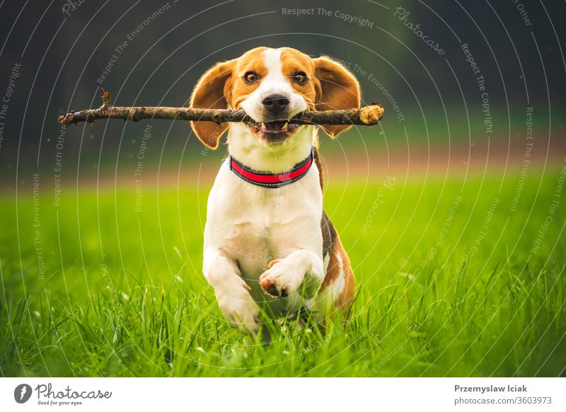Beagle dog with a stick on a green field during spring runs towards camera. beagle jump pets obedience fun happy meadow nature domestic animal young outdoor