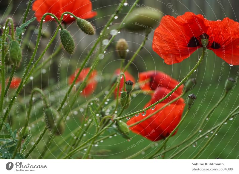 poppies Poppy Poppy blossom poppy flower flowers bleed Blossoming Flowering plant heyday Summer Red Nature Plant spring Colour photo Exterior shot green