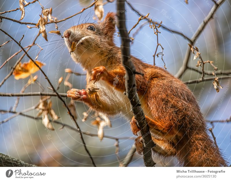 Climbing squirrel in a tree Squirrel sciurus vulgaris Animal face Head Nose peer ears paws Claw Pelt Wild animal Nature To feed nibble Sunlight