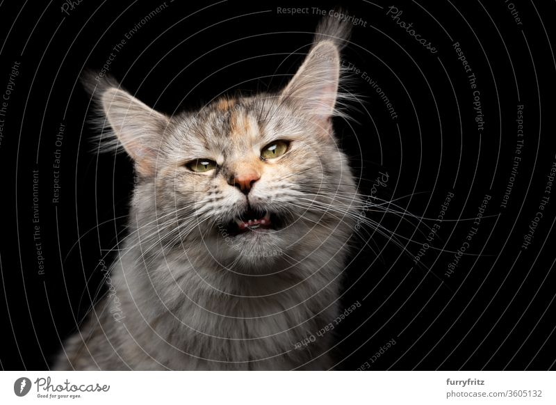 Tabby Maine Coon cat meows with open mouth and looks into the camera Cat pets purebred cat maine coon cat Studio shot black background Copy Space cut already
