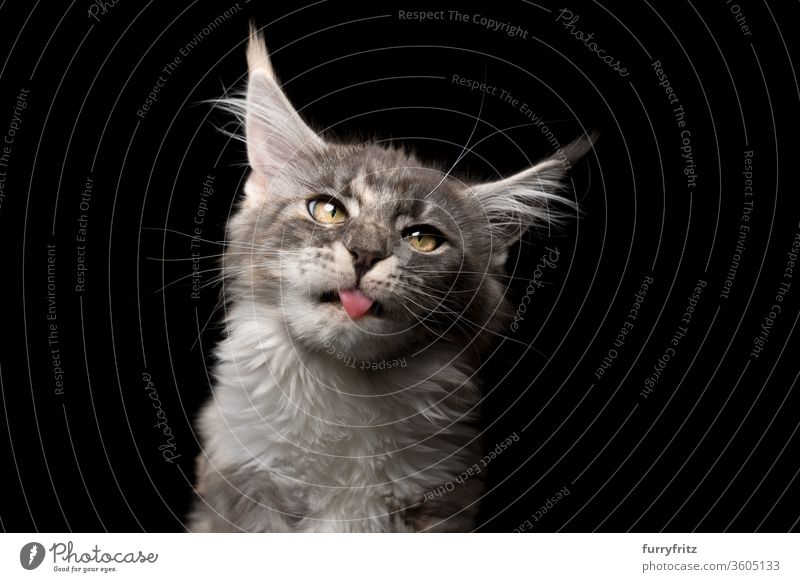 cute Maine Coon kitten with outstretched tongue making a silly face Cat pets purebred cat maine coon cat Studio shot black background Copy Space already Cute