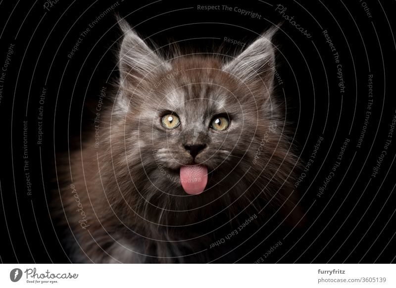 sassy young Maine Coon kitten sticks out her tongue Cat pets purebred cat maine coon cat Studio shot black background Copy Space cut already Cute Enchanting