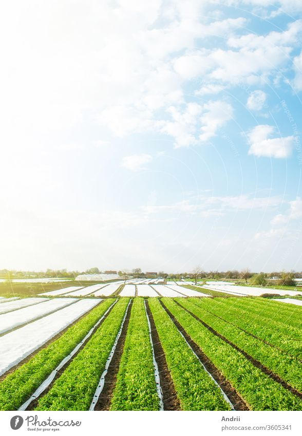 Green farm potato fields on an sunny morning day. Spunbond agrofibre row coverings. Agricultural industry growing potatoes vegetables. Organic farming in Europe. Beautiful countryside landscape