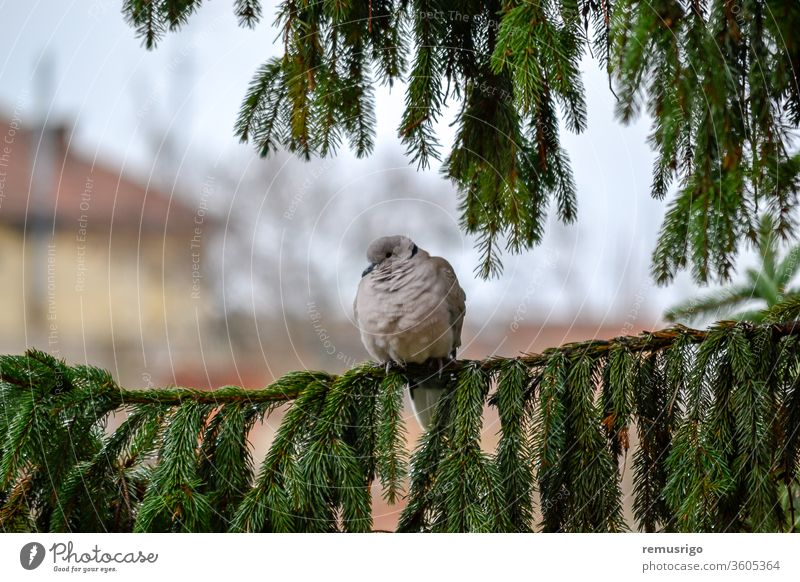 Close-up of an eurasian collared dove sitting on a fir branch. Streptopelia decaocto. 2012 Arad Romania animal avian beak bird fauna feather garden green grey