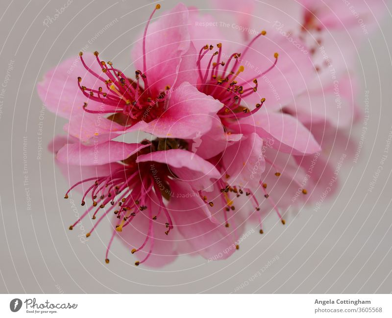 Beautiful pink peach blossom against a light background pink blossom flowers pink flowers spring blossom petals stamens flora floral nature
