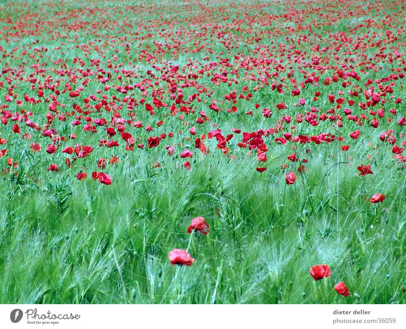 Green Red Field Infinity Poppy Flower Meadow flower Summerflower