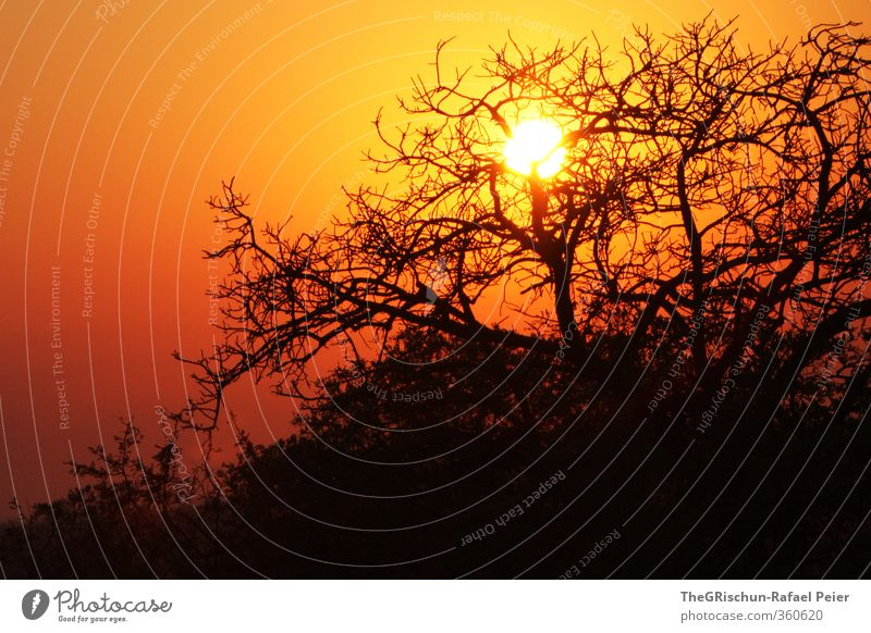 After the Sunset Vacation & Travel Far-off places Safari Summer Nature Landscape Sunrise Beautiful weather Hot Bright Yellow Gold Orange Black Moody Happy Tree