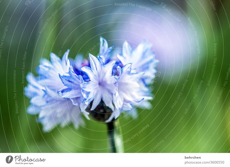 Thank you... Blue light blue Cornflower Summer Sunlight Plant Exterior shot Colour photo Beautiful weather Summery Warmth Meadow Close-up Detail Deserted Day