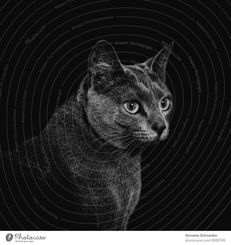 Cat Portrait Looking into the camera Animal portrait Neutral Background Interior shot Black & white photo Contentment Pet Elegant Esthetic