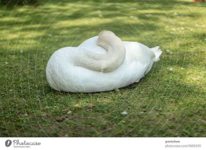 Sleeping swan from behind lies in a meadow. Head and neck close to the body. White plumage. Swan Meadow rest Animal Beauty & Beauty Nature relaxation