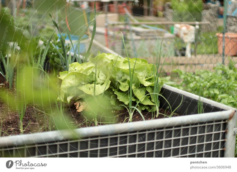 A raised bed with salad and herbs in an allotment garden. Self-catering. Lettuce Garden plot grow Gardening green Nature self-catering Agricultural crop Plant