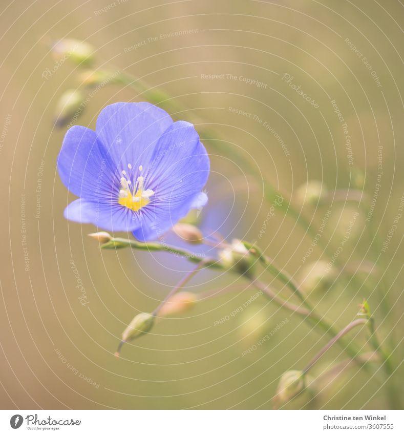 Beautiful light blue flax blossom / flax / linum / flax Flax Linum Flax plants bleed blue blossom Nature Plant Environment Blossoming beautifully Sky blue