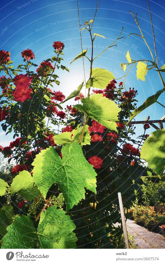 The world is colourful Environment Nature Plant Sky Beautiful weather pink Vine Vine tendril flaked Garden Illuminate Bright Blossoming Colour photo