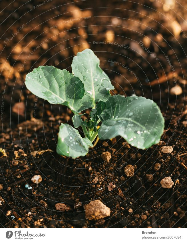 Natural Irrigated Garden Growing Broccoli with water on leaves plant green agriculture leaf garden vegetable nature organic seedling soil growth spring food