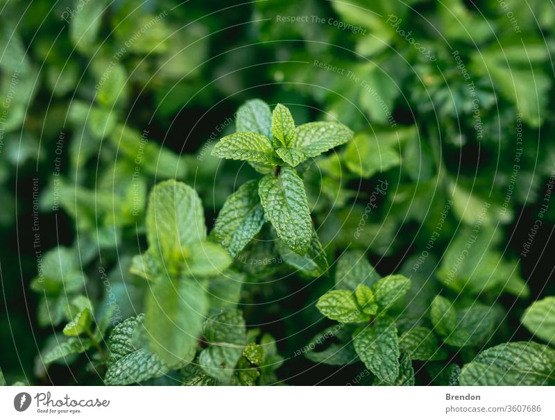Mint in Homemade Herb Garden Bed agriculture aroma aromatic background balm close closeup color detail flavor flora foliage food fragrance fragrant fresh