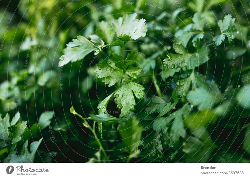 Herb Garden with Parsley in natural back yard garden box green parsley plant leaf herb fresh food leaves nature spice closeup organic vegetable healthy