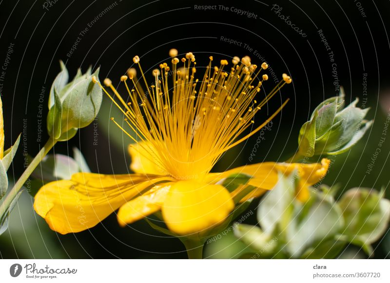 St. John's wort flowers Yellow bleed Plant Macro (Extreme close-up) Close-up Stamp Nature explosion