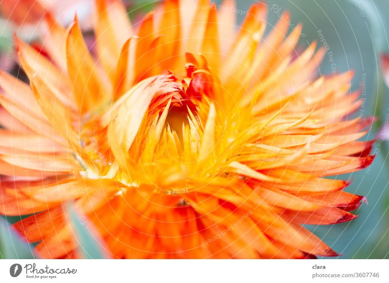 dried flower Dried flower Orange Yellow bleed Close-up Plant flowers Dry Close up flower