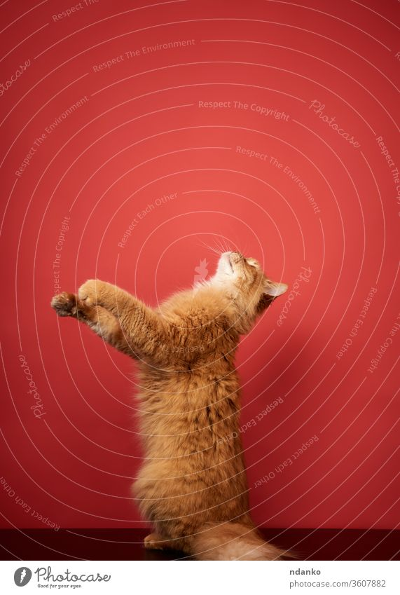 adult red cat jumps and pulls its paws up on a red background adorable animal beautiful big breed curious cute domestic face feline fluffy funny fur furry