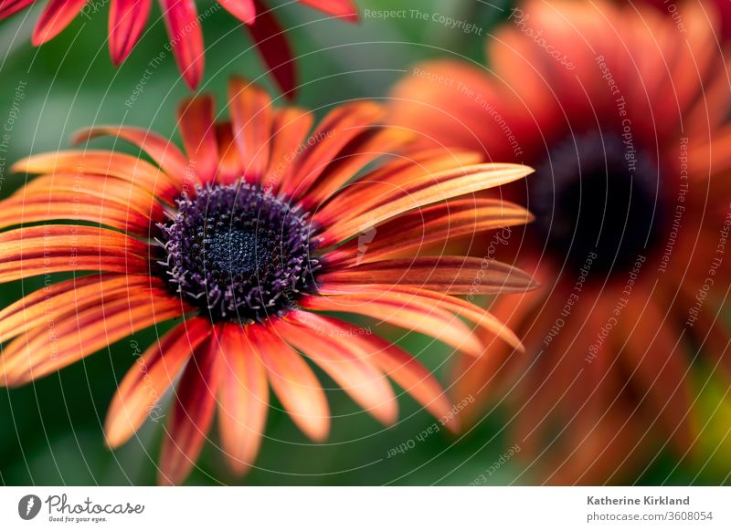 A bright, orange African daisy flower blooms in a summer garden. Green Garden Floral red african Daisy Flower daisies Gardening vibrant nature Natural closeup