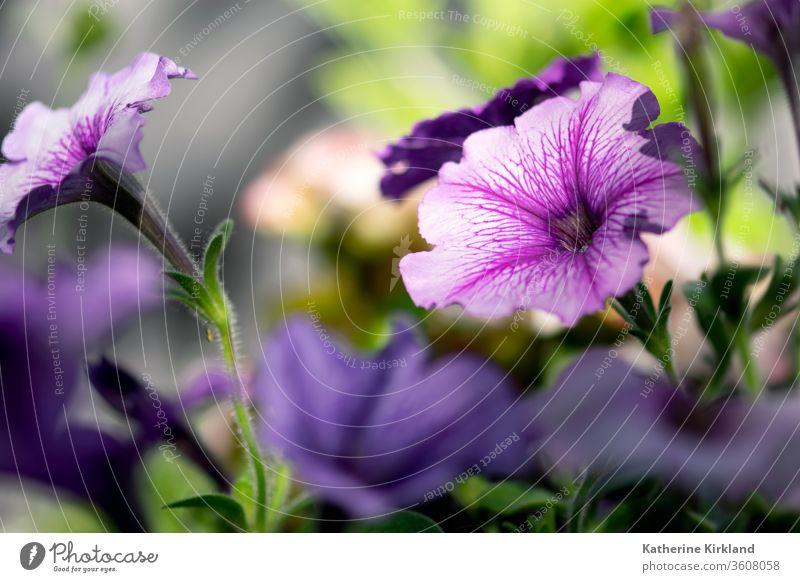 Purple petunias bloom in a summer flower garden. Flower Floral Bloom purple Summer Garden Gardening copy space horizontal Petal Blooming Blossom botany