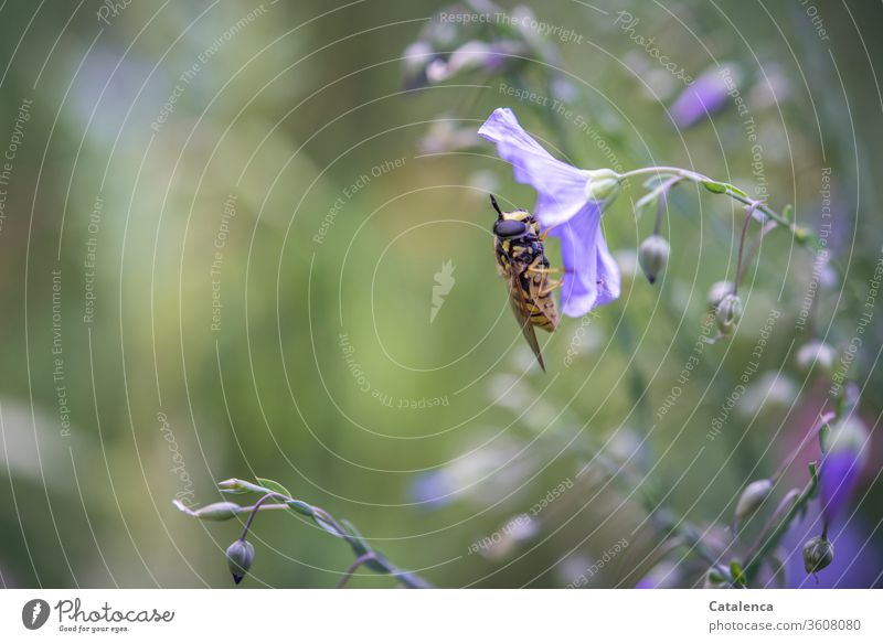 The hoverfly rests on a flower of the linen Nature flora Plant Linen Flax Blossom Insect Animal To feed blossom fade Brown Green purple Garden Summer Day