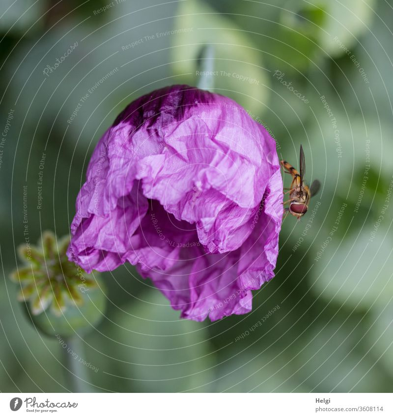 purple Mo(h)ntag - freshly bursting wrinkled purple poppy blossom with hoverfly Poppy Poppy blossom Oriental poppy seed Papaver orientale Garden bleed Insect