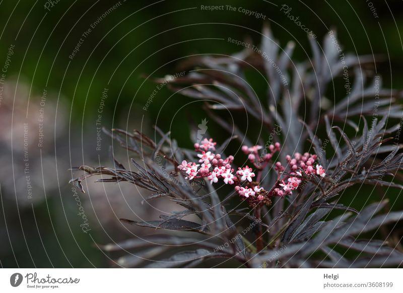 Black Beauty - Sambucus nigra, dark leaved elder with pink flowers Elder black elderberry black lilac Black beauty holler elder bush shriveled lilac berries