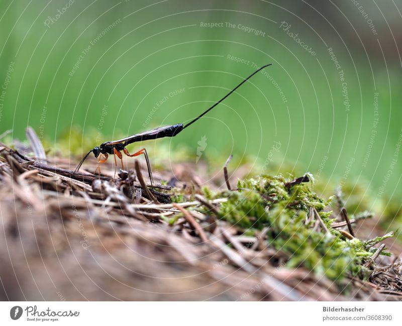 ichneumon fly red-legged wood ichneumon fly ephialtes manifestator Insect ichneumonidae wood wasp Parasite Eiablage Log waist wasp Hymenoptera female beneficial