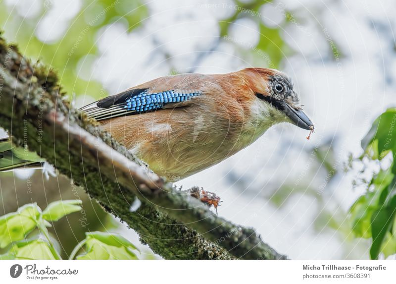 Eating jays in the tree Jay Garrulus glandarius Animal face Head Beak Eyes Grand piano Feather Plumed birds Wild animal flaked Twigs and branches To feed