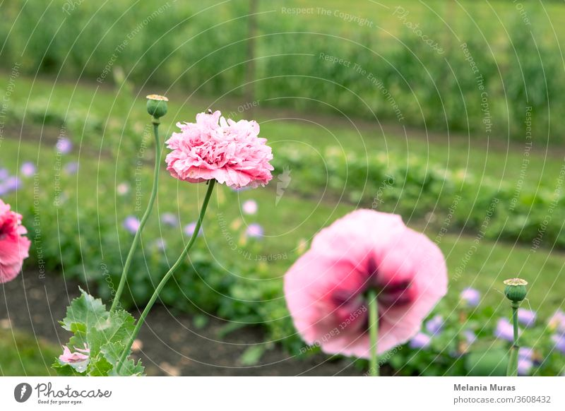 Pink poppy flowers in the garden. background beautiful beauty bloom blooming blossom blossoming botanic botany bright closeup color colorful copy space delicate