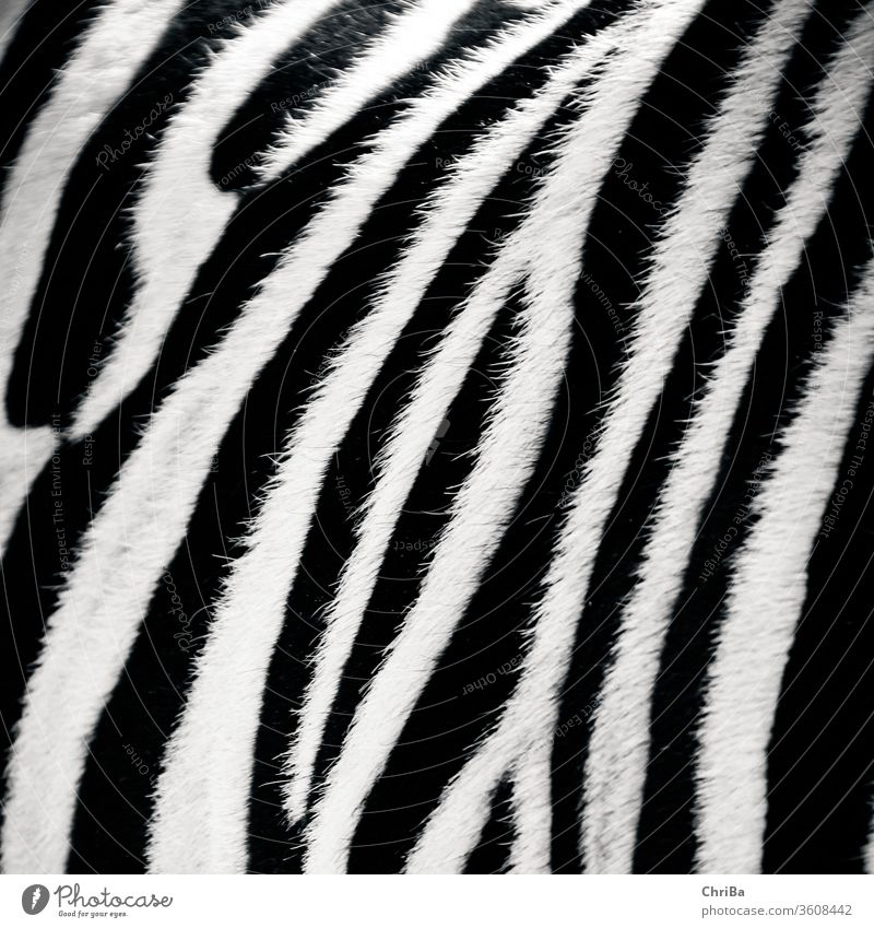 Zebra very close Pelt zebra fur Rough Black black-and-white Striped Animal Close-up Soft Pattern Nature White Wild animal Zoo Exterior shot Mammal Detail