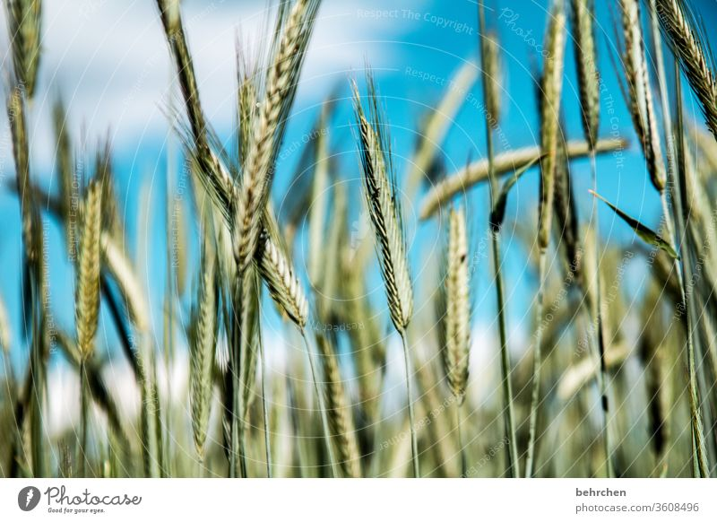 system relevant | bread for the world Field Grain Clouds Sky Oats Wheat Rye Barley Grain field Summer Agriculture Ear of corn Nature Cornfield Food Landscape