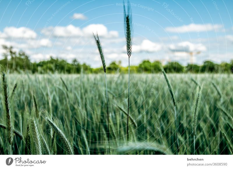 swank Field Grain Grain field Barley Rye Wheat Oats Sky Clouds Summer Agriculture Ear of corn Nature Cornfield grain Food Nutrition Plant Agricultural crop