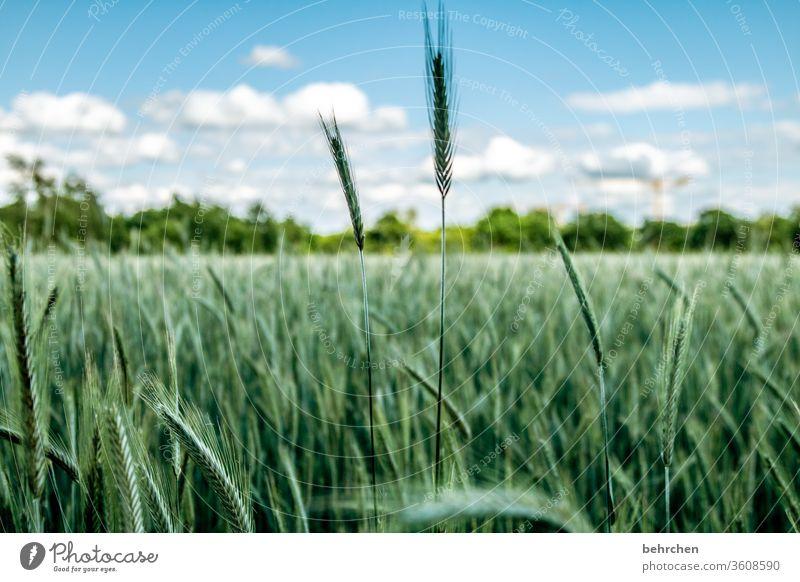 swank Field Grain Grain field Barley Rye Wheat Oats Sky Clouds Summer Agriculture Ear of corn Nature Cornfield grain Food Nutrition Plant Agricultural crop