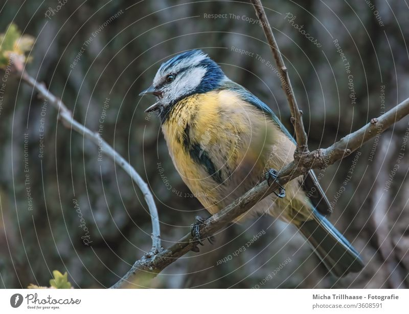Singing Blue Tit Tit mouse Cyanistes caeruleus birds Head Animal face Eyes Beak Grand piano Feather Plumed Claw tree Wild animal Sunlight Beautiful weather