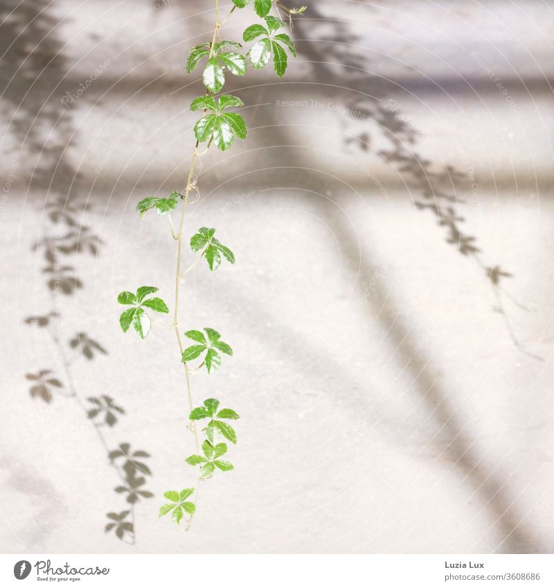 Wild wine, delicate and green with graceful shade Virginia Creeper Plant Colour photo flaked Exterior shot Nature sunshine Sunlight Shadow Shadow play Tendril