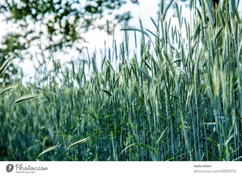 every day a grain Ecological Awn Idyll idyllically Agriculture Exterior shot Harvest Deserted Landscape Environment Agricultural crop Plant Nutrition Food Grain