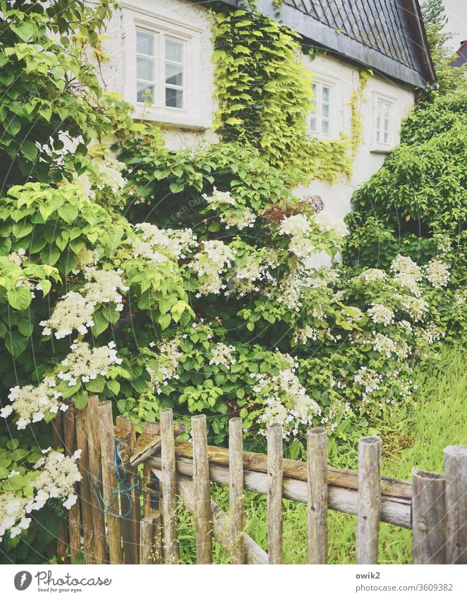 always on the wall long House (Residential Structure) Facade Window Plant Fence Hydrangea Hydrangea blossom leaves bleed Blossoming spring Slate rural Idyll