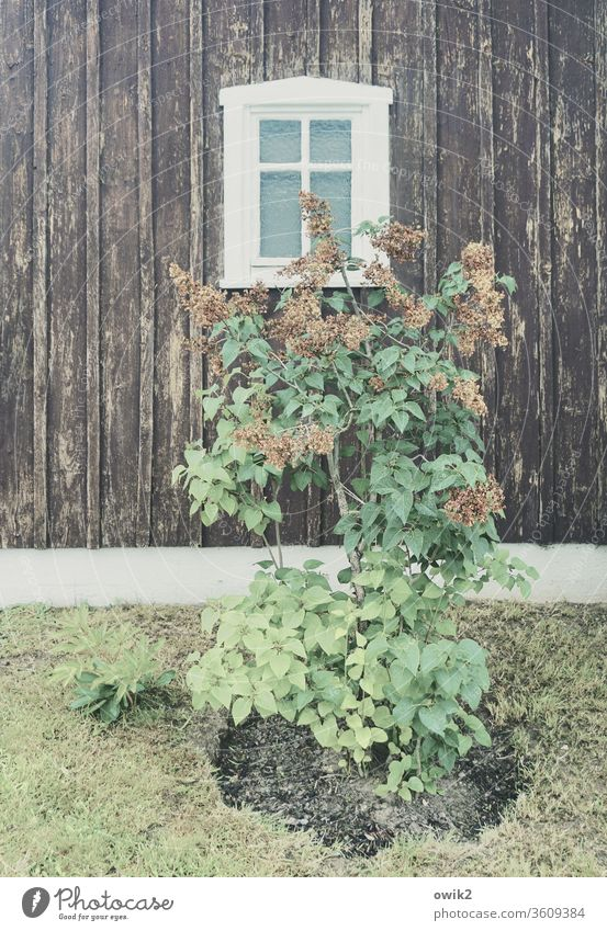 Withered Plant Faded shrub lilac spring bleed leaves House (Residential Structure) wood Old Facade Window Simple Meadow Transience Past Exterior shot Deserted