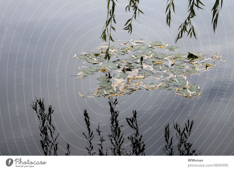 Water lily leaves in the lake and hanging branches with reflection Lake Water Lily water lily Willow tree Weeping willow Autumnal melancholically meditative