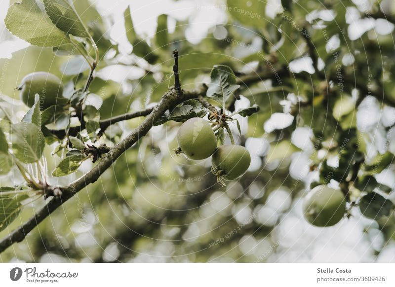 Apple tree with small fruits apples Branch Season Close-up fruit growing orchard extension detail Detail Harvest Eating green Agriculture Sustainability Nature