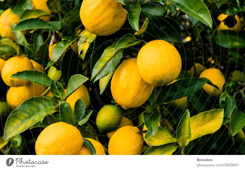 lemons on tree agriculture background big branch bright bunch citrus closeup color colorful crop cultivated foliage food fresh freshness fruit garden gardening